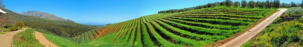 Взгляд виноградника Tokara Стоковая Фотография RF
