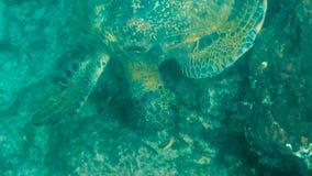 Взгляд высокого угла подводный зеленой морской черепахи питаясь на isla Сантьяго стоковая фотография