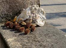 Взгляд высушенной раковины сосны и моря на стене цемента стоковая фотография