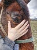 Взгляд в коричневый глаз коричневой покрашенной лошади стоковое изображение
