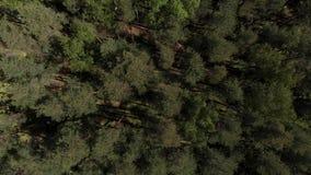 Взгляд глаза птицы съемки красивого зеленого леса воздушной r Камера летает над coniferous лесом сток-видео