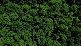 Взгляд глаза трутня - воздушный зеленый лес 4K плотных смешанных верхних частей дерева сосен и берез, Кавказ, России акции видеоматериалы