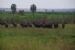 Взгляд гну в парке Kissama, Bengo стоковое изображение rf