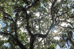 Взгляд дерева испанского мха стоковое фото rf