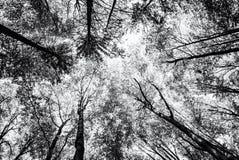 Взгляд дерева увенчивает весной лес, бесцветный Стоковая Фотография