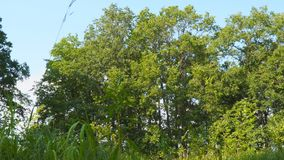 Взгляд деревьев ниже Молодые дубы сток-видео