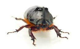 взгляд единорога rhinoceros макроса жука передний Стоковые Изображения RF