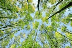 Взгляд естественной предпосылки нижний крон и верхние части деревьев березы протягивают к голубому ясному небу с яркая ая-зелен м стоковое фото rf