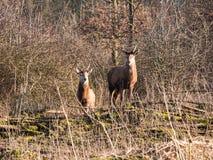 Взгляд 2 женский красных оленей на камере Стоковое Фото