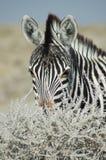 Взгляд зебры Стоковая Фотография