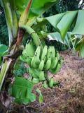 взгляд зеленого цвета банана очень стоковое изображение rf