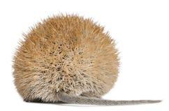 взгляд золотистой задего мыши spiny Стоковые Изображения RF