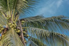 Взгляд кокосовой пальмы от дна небесно-голубого стоковое изображение rf