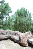 Взгляд конусов сосны стоковое фото rf