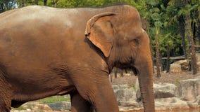 Взгляд конца-вверх африканского слона в зоопарке сток-видео