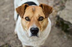 Взгляд конца-вверх большой головы бездомной собаки при красивые глаза смотря в камеру Стоковые Изображения