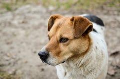 Взгляд конца-вверх большой красивой бездомной собаки Стоковое Изображение