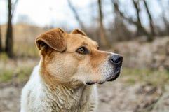 Взгляд конца-вверх большой красивой бездомной собаки Стоковое фото RF