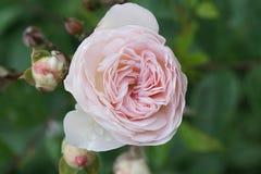 Взгляд конца-вверх бутона цветка ча-Розы стоковые фото