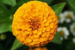 Взгляд конца-вверх верхней части свежей и молодой желтой подачи Zinnia стоковая фотография rf