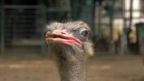 Взгляд конца-вверх головы страуса в зоопарке, blured предпосылке акции видеоматериалы