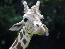 Взгляд конца-вверх жирафа на зоопарке Стоковое Фото