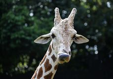 Взгляд конца-вверх жирафа на зоопарке Стоковая Фотография RF