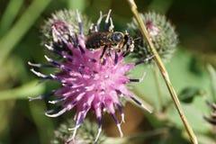 Взгляд конца-вверх кавказских бело-серых Hymenoptera Megachi пчелы стоковое фото