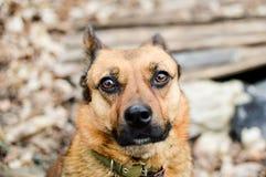 Взгляд конца-вверх красной головы бездомной собаки при красивые глаза смотря в камеру Стоковая Фотография RF