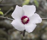 Взгляд конца-вверх к белому и пурпурному зацветая фокусу цветка clematis выборочному с запачканной natiral коричневой предпосылко стоковое фото