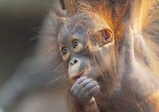 Взгляд конца-вверх молодого орангутана стоковые изображения rf