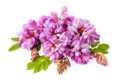 _ Взгляд конца-вверх на цветках весны зацветая розовой акации стоковое изображение rf
