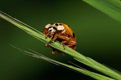 Взгляд конца-вверх от фронта кавказского желтого ladybird ha стоковое изображение