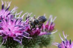 Взгляд конца-вверх от фронта пушистой серой кавказской пчелы мега Стоковые Фотографии RF