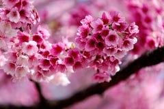 Взгляд конца-вверх прекрасных розовых цветков Сакуры предпосылки вишневого цвета запачканной деревом, мелкого влияния фокуса стоковые фото