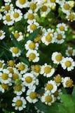 Взгляд конца-вверх сверху множества цветков стоцвета стоковая фотография