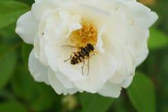 Взгляд конца-вверх сверху флористической кавказской мухы hoverfly t стоковые изображения rf