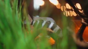 Взгляд конца-вверх экзотических черно-белых и золотых рыб плавая в аквариум с зелеными водорослями и небольшими деревянными выхва сток-видео