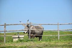 Взгляд коровы за деревянной загородкой Стоковые Фото