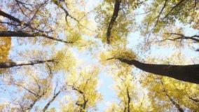 Взгляд кроны деревьев осени от низкого пункта сток-видео
