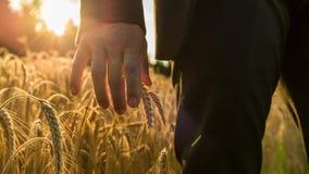 Взгляд крупного плана бизнесмена касаясь зрея уху пшеницы стоковые изображения rf