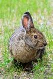 Взгляд крупного плана головы зайца snowshoe Стоковая Фотография RF