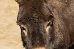 Взгляд крупного плана головы осла с длинными ушами и грустными глазами стоковая фотография