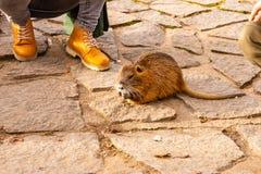 Взгляд крупного плана животного крысы nutria Загоренное nutria играет с туристом и ждет питаться Животное живой природы живет стоковое фото rf
