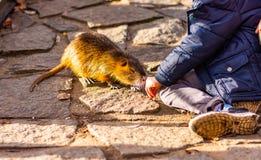 Взгляд крупного плана животного крысы nutria Загоренное nutria играет с туристом и ждет питаться Животное живой природы живет стоковое фото