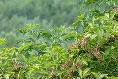 Взгляд крупного плана зеленого завода elderberry стоковые изображения