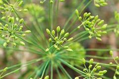 Взгляд крупного плана зеленый формировать семян укропа стоковое фото rf