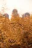 Взгляд крупного плана камышовых колосков против зданий города Стоковая Фотография