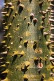 Взгляд крупного плана расшивы молодого pentandra Ceiba Ceiba стоковое изображение