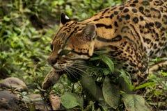 Взгляд крупного плана ягуара стоковые фотографии rf